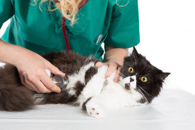 Veterinair met katje royalty-vrije stock afbeelding