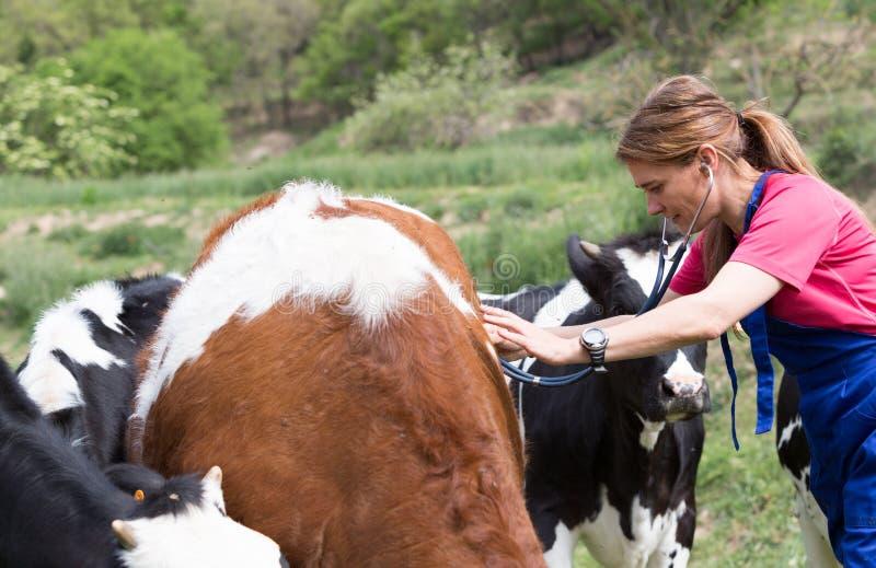 Veterinair op een landbouwbedrijf stock afbeelding