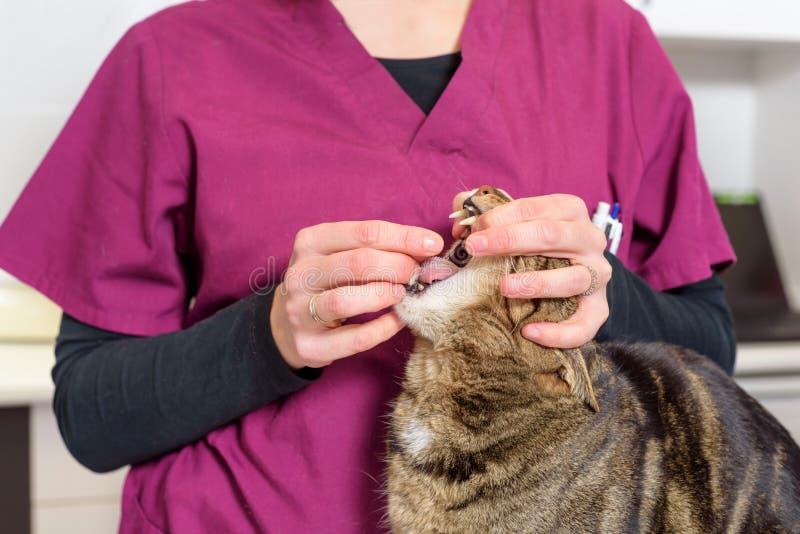 Veterinaire arts die een pil voor het ontwormen van een kat geven royalty-vrije stock afbeelding