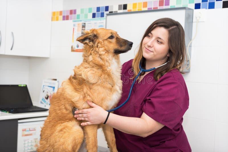 Veterinaire arts die stethoscoop voor leuk hondonderzoek met behulp van stock fotografie