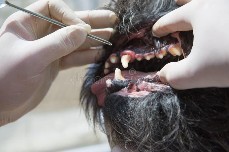 Veterinaire behandeling van hondtandvleesontsteking stock afbeelding