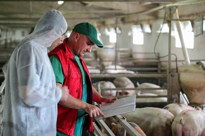 Veterinaire Doctor en Landbouwer in Varkensschuur stock afbeeldingen
