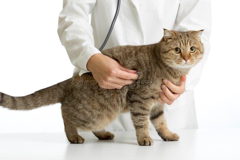 Veterinaire geïsoleerde arts met Britse kat stock foto's