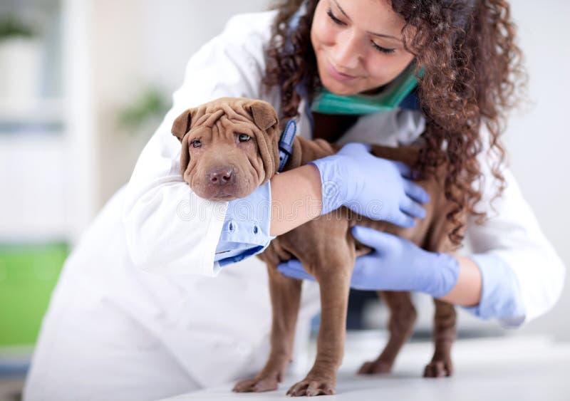 Veterinaire het koesteren Shar Pei hond stock fotografie