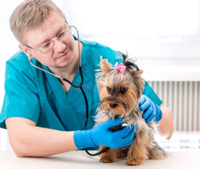 Veterinaire het onderzoeken Yorkshire Terrier hond met stethoscoop stock foto's