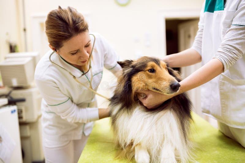 Veterinaire onderzoekende hond` s hartslag royalty-vrije stock fotografie