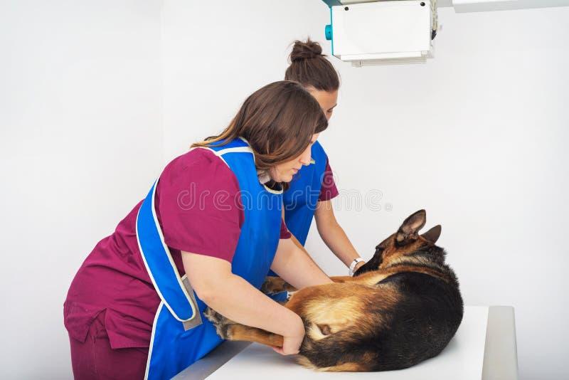 Veterinaire radioloog die hond in x-ray ruimte onderzoeken stock fotografie