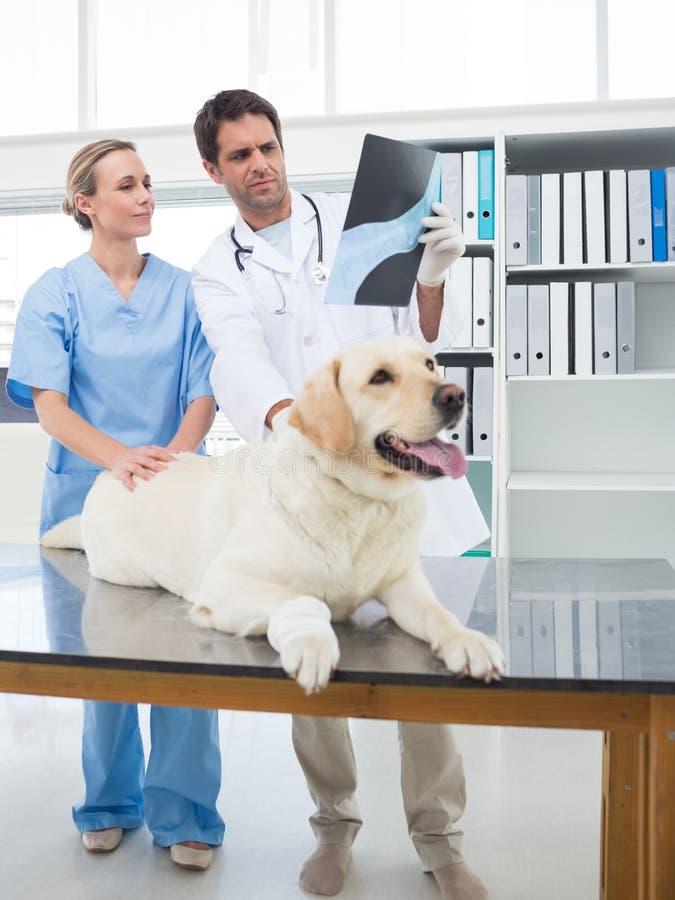 Veterinari che discutono raggi x del cane immagine stock libera da diritti