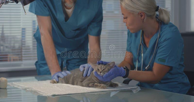 Veterinari che esaminano gatto immagini stock libere da diritti