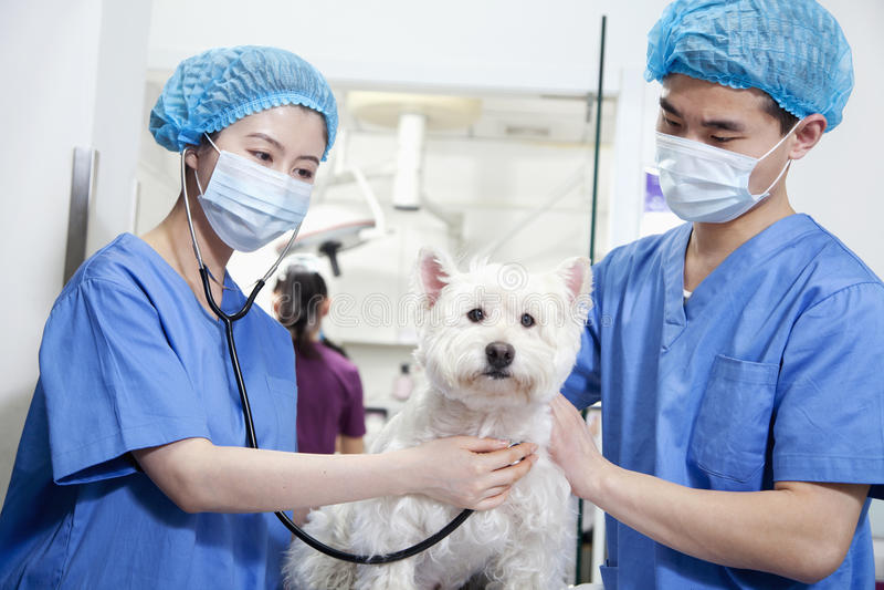 Veterinari con le maschere chirurgiche che esaminano cane fotografie stock