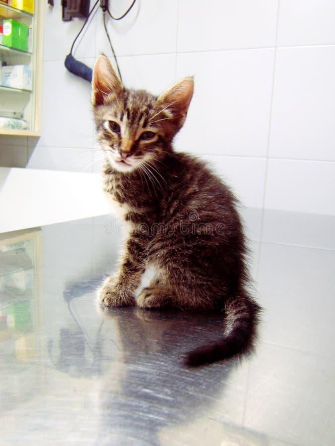veterinarian кота стоковая фотография rf