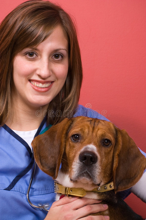 Veterinarian With a Beagle royalty free stock image