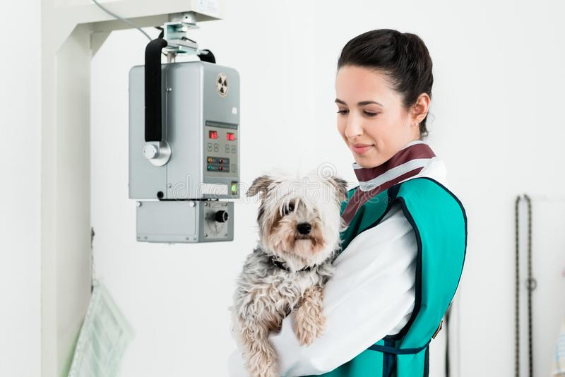 Veterinarian carrying sick puppy in x-ray room royalty free stock images