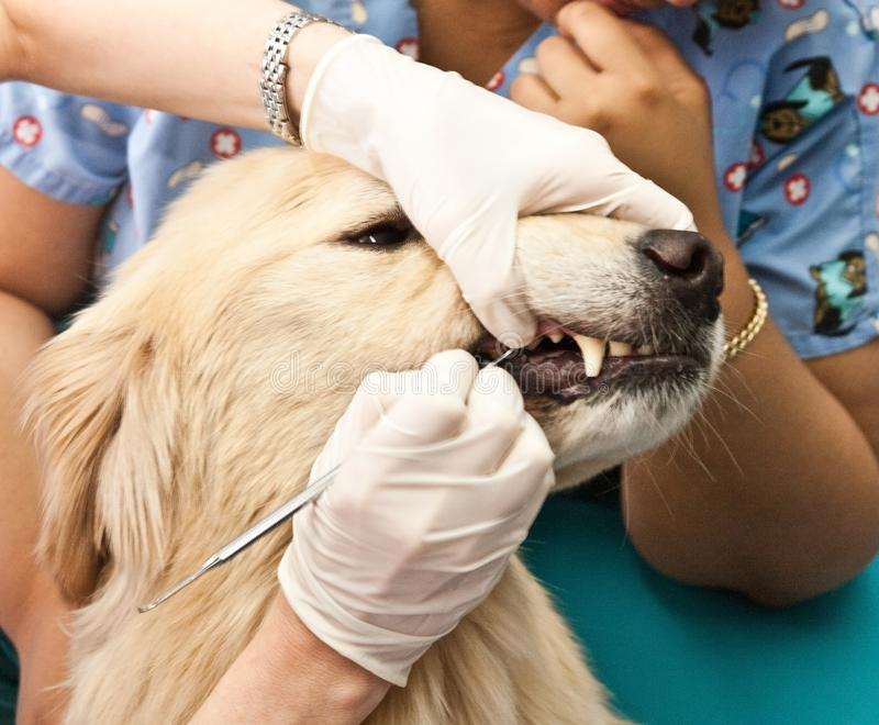 Veterinarian Cleaning Dogs Teeth royalty free stock photos