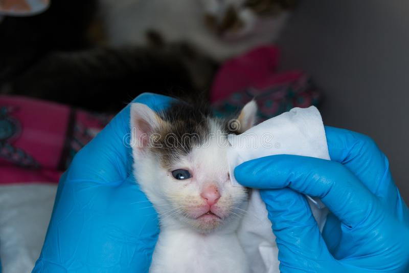 The veterinarian cleaning the kittens infected eyes with special wipes royalty free stock photography