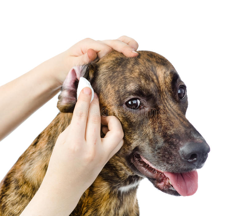 Veterinarian cleans ears to a dog. isolated on white background stock photos
