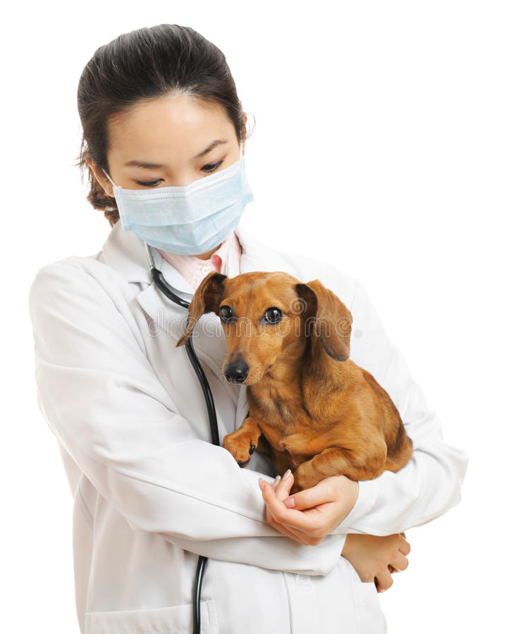 Veterinarian with dachshund dog. On the white background royalty free stock images