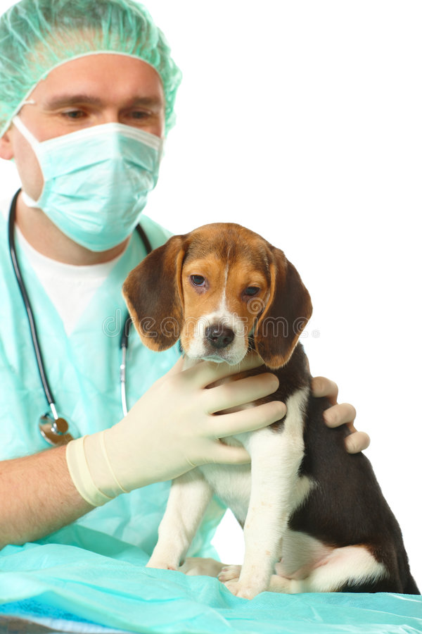Veterinarian Doctor And A Beagle Puppy Royalty Free Stock Photo