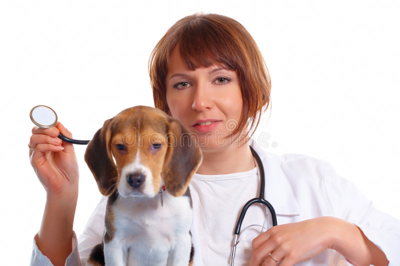 Veterinarian doctor and a beagle puppy. Veterinarian doctor making a checkup of a begle puppy dog stock photography