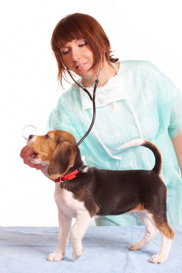 Veterinarian doctor and a beagle puppy. Veterinarian doctor making a checkup of a begle puppy dog royalty free stock photos