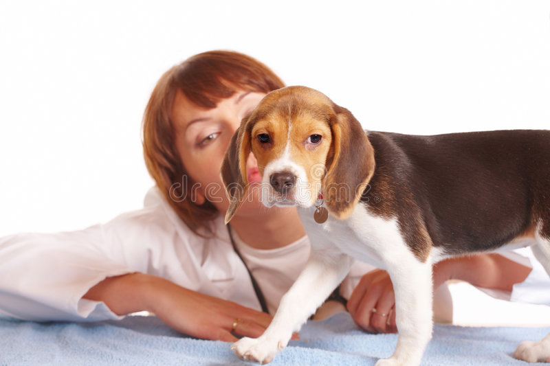 Veterinarian doctor and a beagle puppy. Veterinarian doctor with a begle puppy dog stock image