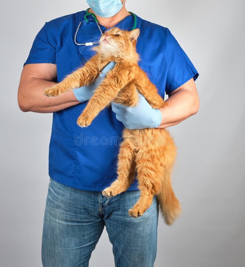 veterinarian doctor in blue uniform holding fluffy red cat in hands royalty free stock photo