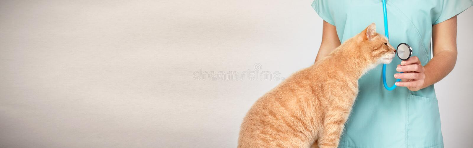 Veterinarian doctor with cat in veterinary clinic. stock image