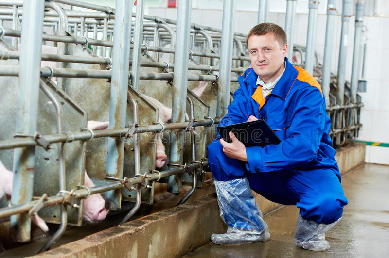 Veterinarian doctor examining pigs at a pig farm. Veterinarian doctor worker at agriculture reproduction farm or pork plant inspecting pig stock images