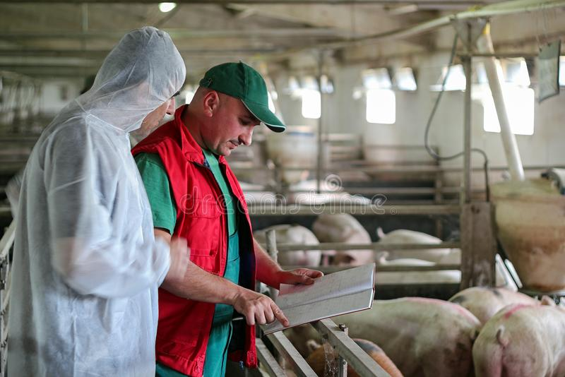 Veterinarian Doctor and Farmer in Pig Barn stock images