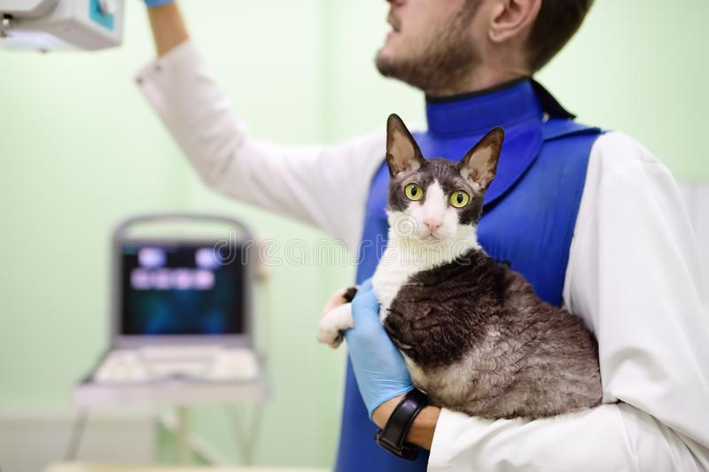 Veterinarian doctor are going to do an x-ray of the breed Cornish Rex cat during the examination in veterinary clinic stock photos