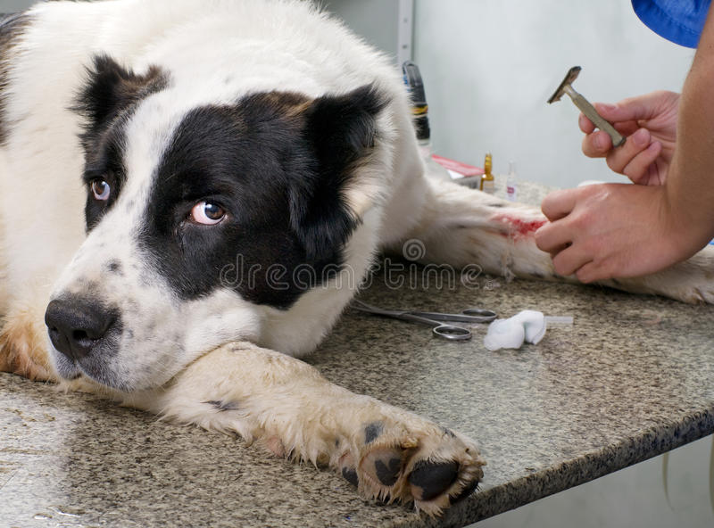 Veterinarian doctor making a checkup royalty free stock photography