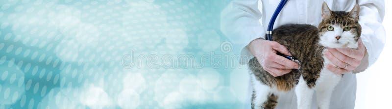 Veterinarian examining cat; panoramic banner royalty free stock images