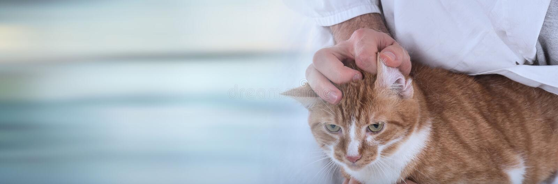 Veterinarian examining a cat; panoramic banner royalty free stock photo