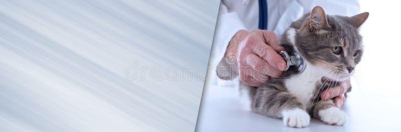 Veterinarian examining a cat. panoramic banner stock photo