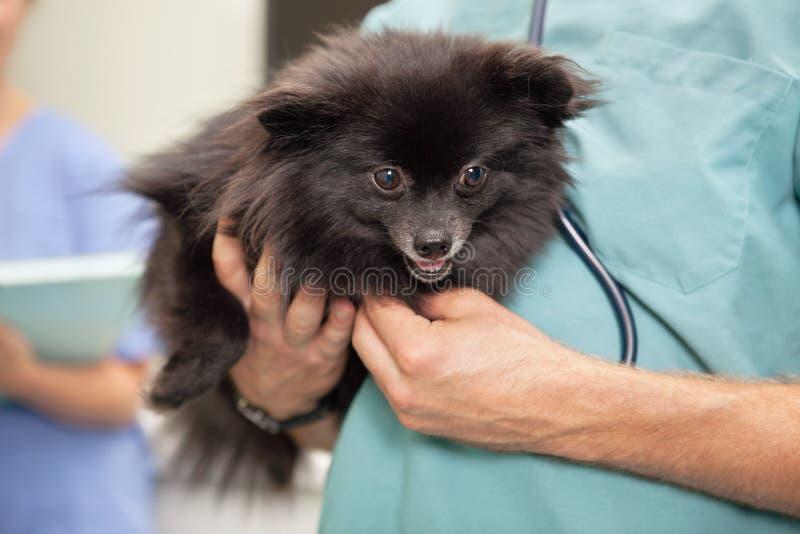 Veterinarian examining cute little dog stock images