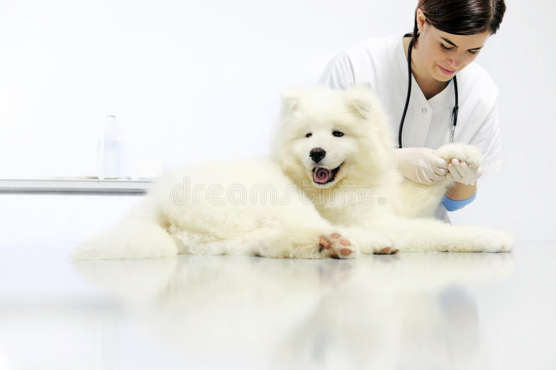 Veterinarian examining dog paw on table in vet clinic. Veterinarian examining dog paw on blank table in vet clinic stock images