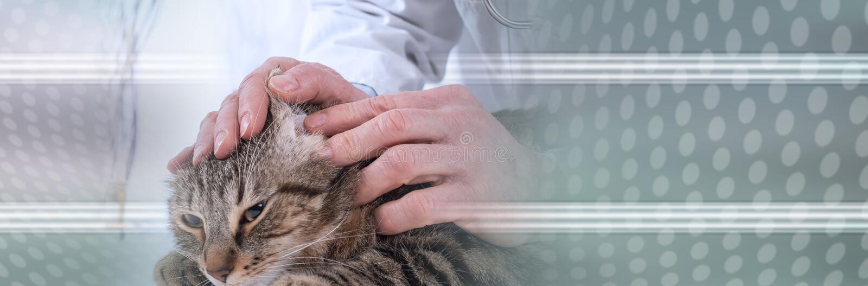 Veterinarian examining an ear of a cat. panoramic banner stock photo