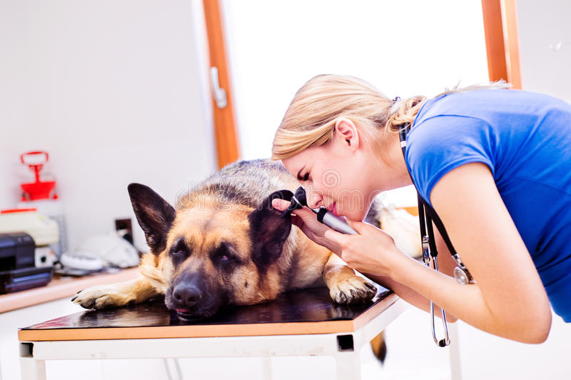 Veterinarian examining German Shepherd dog with sore ear. Young blond woman working at Veterinary clinic stock photography