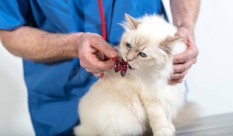 Veterinarian examining a sacred cat of burma with his stethoscope. Veterinarian examining a white sacred cat of burma with his stethoscope stock photo