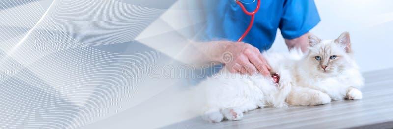 Veterinarian examining a sacred cat of burma; panoramic banner. Veterinarian examining a sacred cat of burma with his stethoscope; panoramic banner stock photography