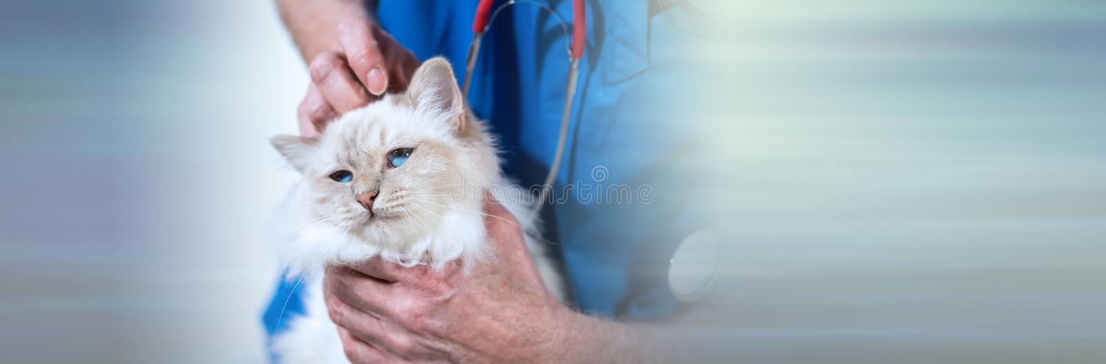 Veterinarian examining a sacred cat of burma. panoramic banner. Veterinarian examining a white sacred cat of burma. panoramic banner royalty free stock images