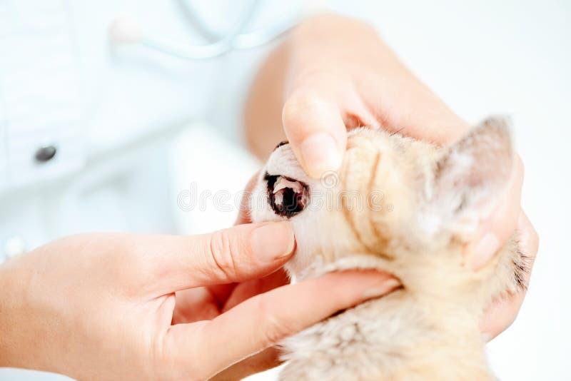 Veterinarian examining teeth of kitten. Unrecognizable doctor veterinarian examining teeth of kitten, close-up stock image