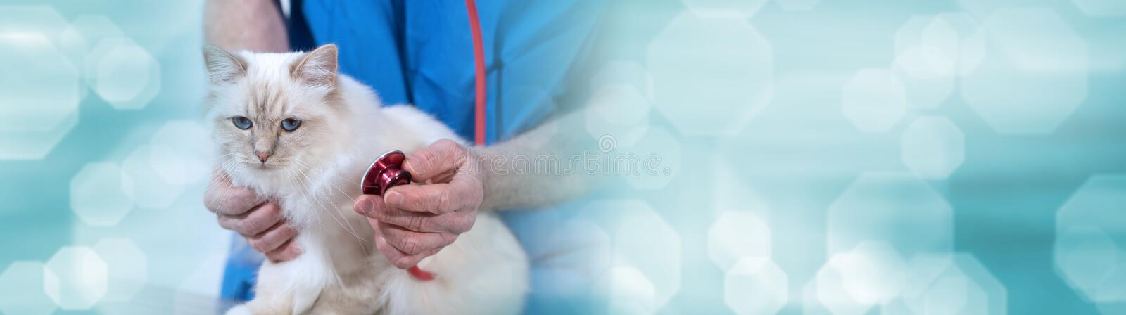 Veterinarian examining a sacred cat of burma with his stethoscope; panoramic banner. Veterinarian examining a white sacred cat of burma with his stethoscope stock photos