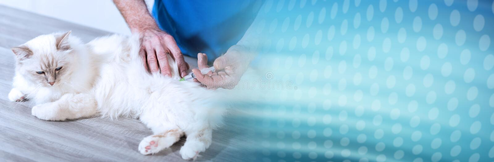 Veterinarian giving an injection to a sacred cat of burma. panoramic banner. Veterinarian giving an injection to a white sacred cat of burma. panoramic banner stock photos