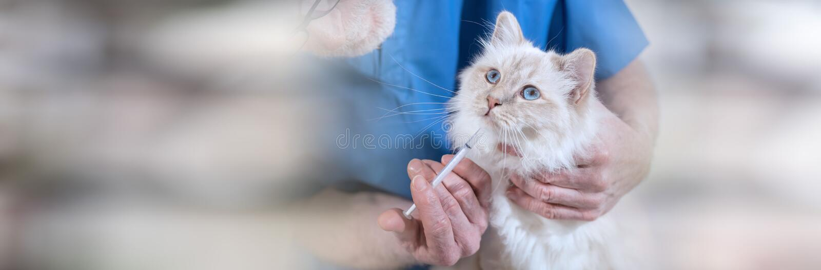 Veterinarian giving medication to a beautiful sacred cat of burma. panoramic banner. Veterinarian giving medication to a beautiful white sacred cat of burma stock images
