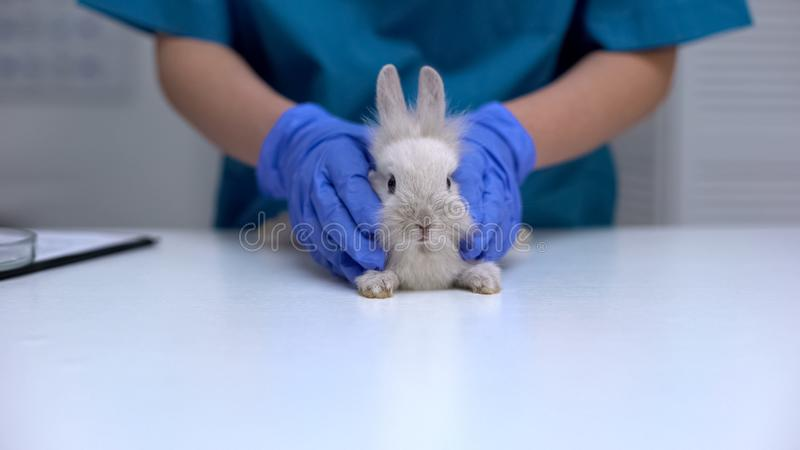 Veterinarian in gloves holding cute bunny, pet healthcare examination, clinic. Stock photo royalty free stock images