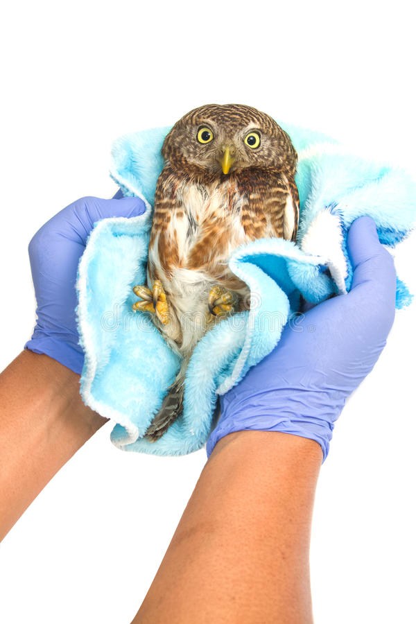 Veterinarian holding and checkup owl royalty free stock photography