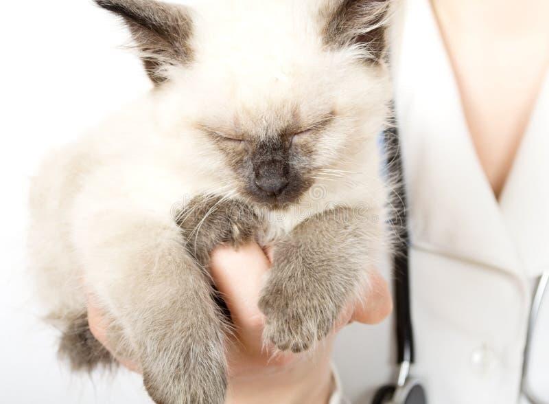 Download Veterinarian Holding  Kitten Stock Photo - Image: 24560840