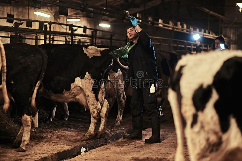 Veterinarian makes the procedure of artificial insemination of a cow inside a farm royalty free stock image