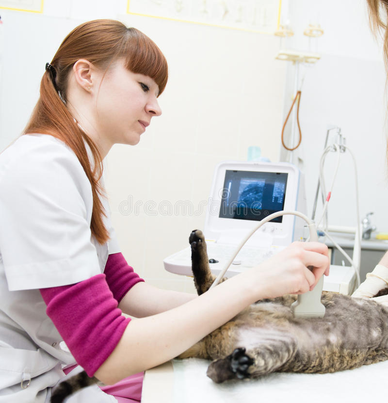 Veterinarian performed an ultrasound examination a cat.  royalty free stock photography